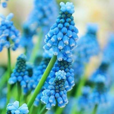 Мускари Sky Blue