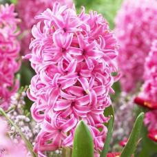 Гиацинт Pink Pearl / 2 шт.