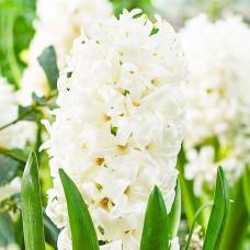Гиацинт White Pearl / 2 шт.