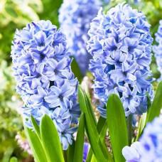 Гиацинт Delft Blue / 2 шт.