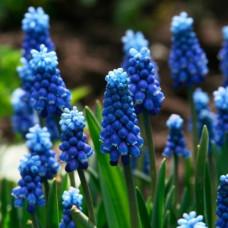 Мускари Aucheri Blue Magic
