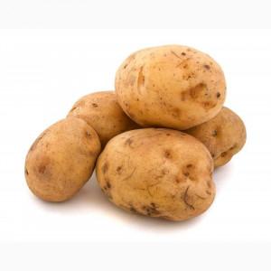 Овочі (Картопля, цибуля, часник)