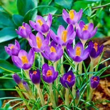 Крокус Barr's Purple