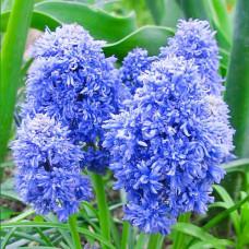 Мускари Blue Spike