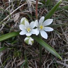 Орнитогалум Oligophyllum