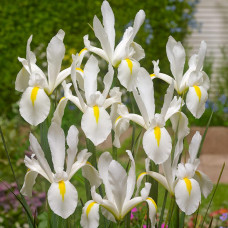Ирисы Hollandica White (5шт.)