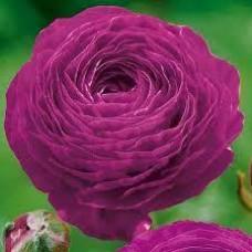 Ранункулюс Аsiaticus Аviv Фиолетовый (3 шт.)