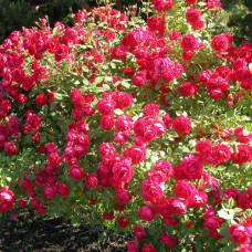 Саженцы плетистых роз Поль Скарлет Клаймер