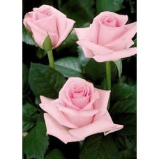 Саженцы роз Титаник