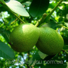 Саженцы грецкого ореха Буковинский-1 (трехлетний)