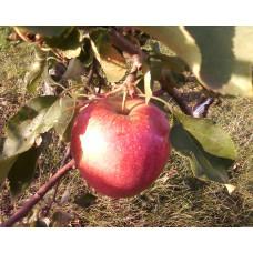 Саженцы яблони Бребун