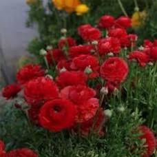 Ранункулюс Аsiaticus Tomer Красный (3 шт.)