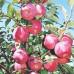 Саженцы яблони Флорина