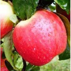 Саженцы яблони Канзи
