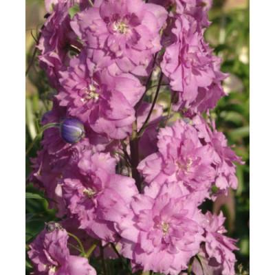 Дельфиниум махровый розовый