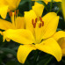 Лилия  Yellow Power