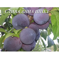 Саженцы сливы Анна Шпет