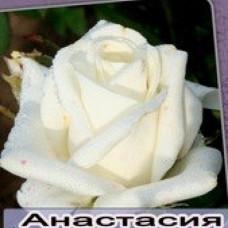 Саженцы роз Анастасия