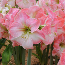 Aмариллис Cherry Blossom