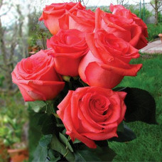 Саженцы роз Импульс