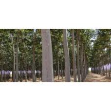 Павловния (для древесины)