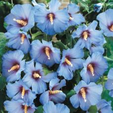 Гибискус синий