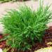 Можжевельник горизонтальный Андорра Компакт (5-10см