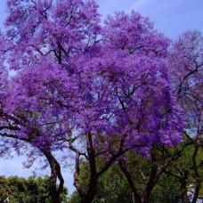 Адамовое дерево