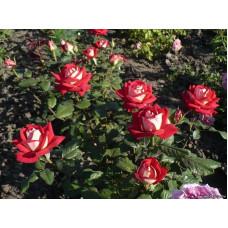 Саженцы роз Нью Фешн