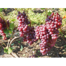 Саженцы винограда Жемчужина Молдавии