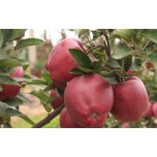 Саженцы яблони Глостер