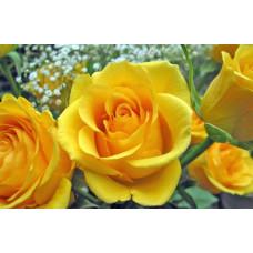 Саженцы роз Желтый Остров