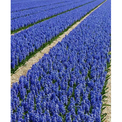 Лаванда Лоддон Блю (Loddon Blue)