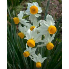 Нарцисс Canaliculatus