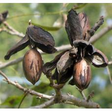 Саженцы ореха Пекан Мохав (однолетние)