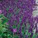 Лаванда Dark Hidcote Blue (саженцы)