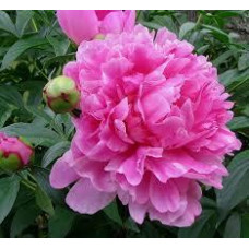 Пион Травянистый Розовый (корневище)
