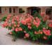 Саженцы плетистых оранжевых роз