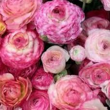 Ранункулюс Аviv Picotee Rose (3 шт.)