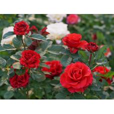 Саженцы роз Эль Торо