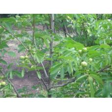 Грецкий орех Прикарпатский (двухлетний)