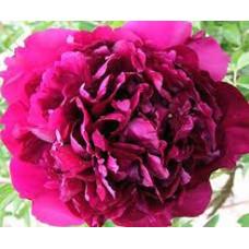 Пион Древовидный Пурпурный