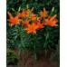 Лилия Orange Tone