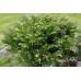 Можжевельник горизонтальный Вариегата 5-10см
