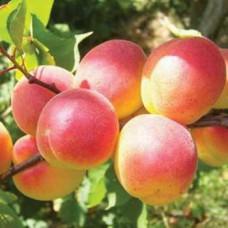 Саженцы абрикоса Донецкий краснощекий
