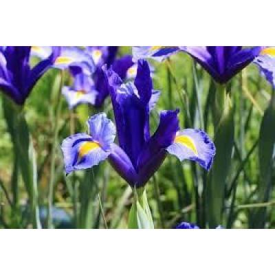 Ирисы Hollandica Blue (5шт.)