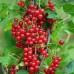 Кусты красной смородины