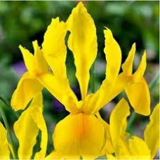 Ирис Hollandica Желтый (3 шт.)