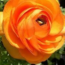 Ранункулюс Аviv Picotee Orange (3 шт.)