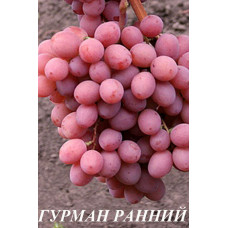 Саженцы винограда Гурман